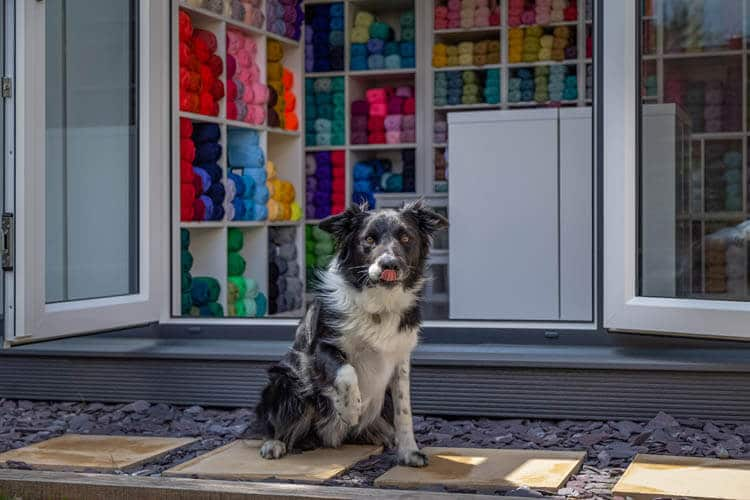 Boarder Collie in front of an Inspiration with yarn in shelves